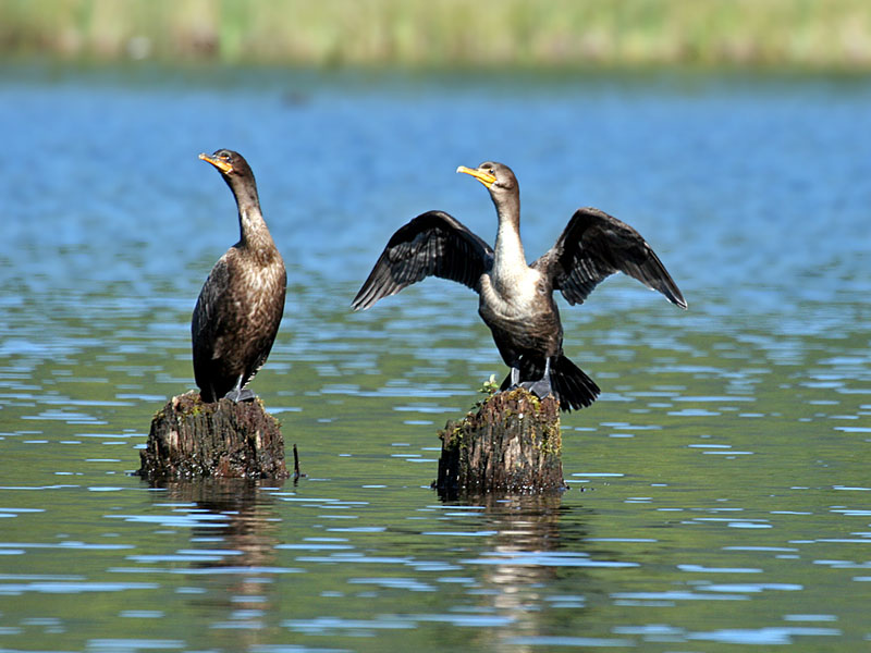 FWB 9944 Double-crested Cormorants.jpg