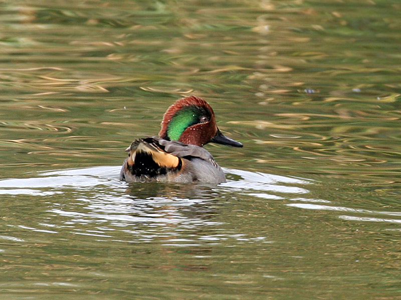 IMG_4214 Green-winged Teal.jpg