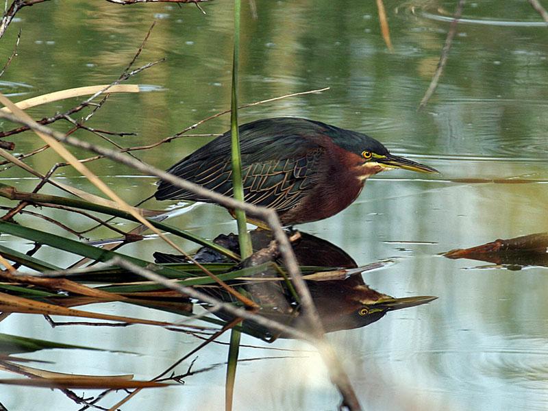 IMG_4345 Green Heron.jpg