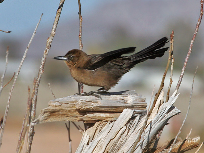 IMG_6145 Great-tailed Grackle.jpg