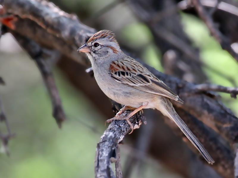 IMG_0658 Rufous-winged Sparrow.jpg
