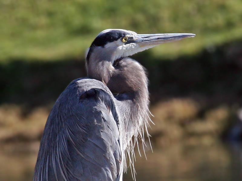 IMG_4936 Great Blue Heron.jpg