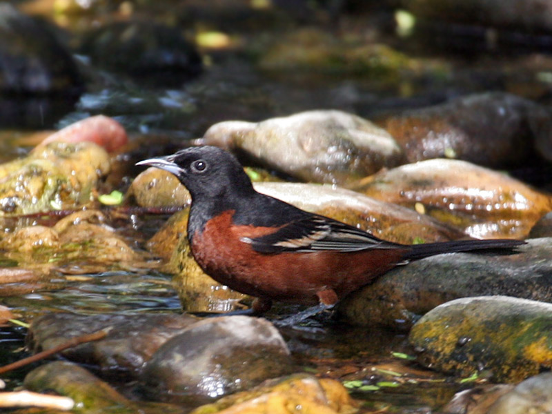 IMG_5853 Orchard Oriole male.jpg