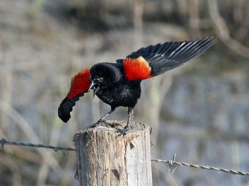 IMG_5989 Red-winged Blackbird.jpg