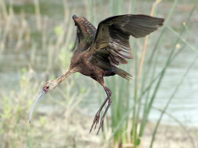 IMG_0242a White-faced Ibis.jpg