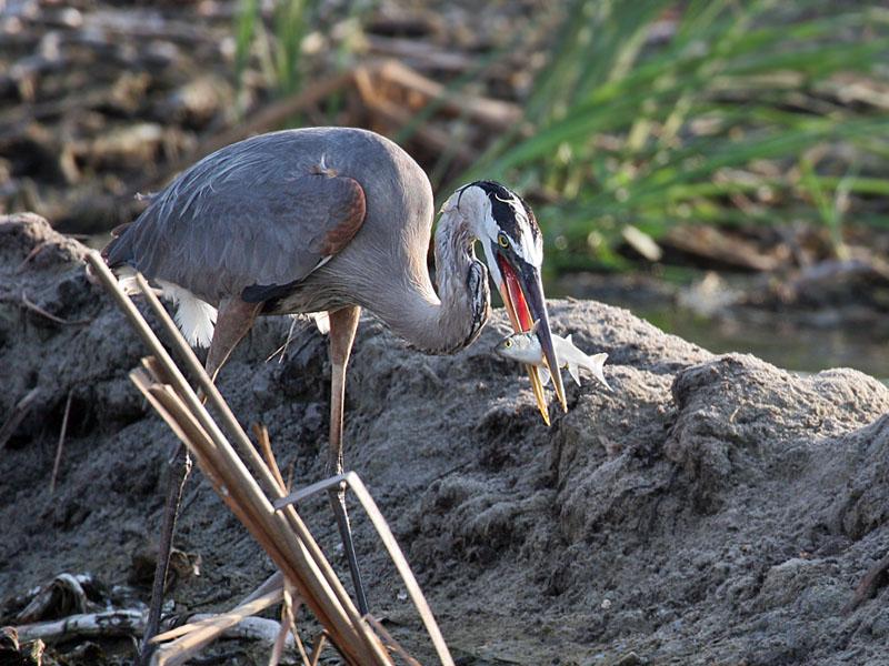 IMG_5358 Great Blue Heron.jpg