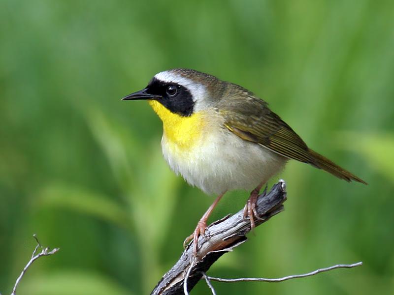 IMG_8553 Common Yellowthroat eastern.jpg