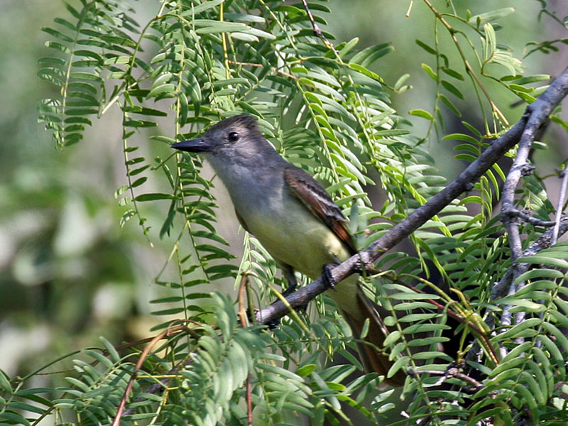 IMG_6590 Brown-crested Flycatcher.jpg