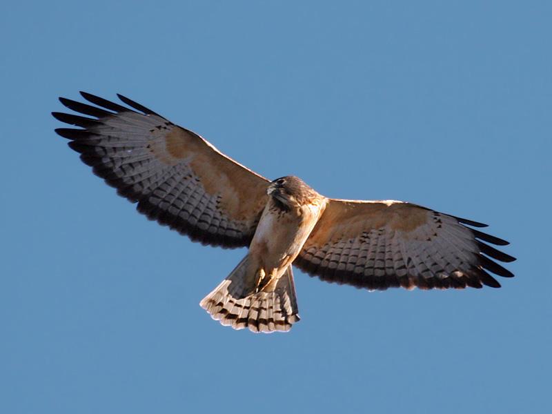 IMG_9452a Short-tailed Hawk.jpg