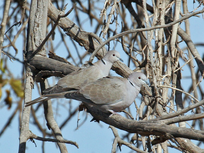 IMG_6499 Eurasian Collared-Dove.jpg