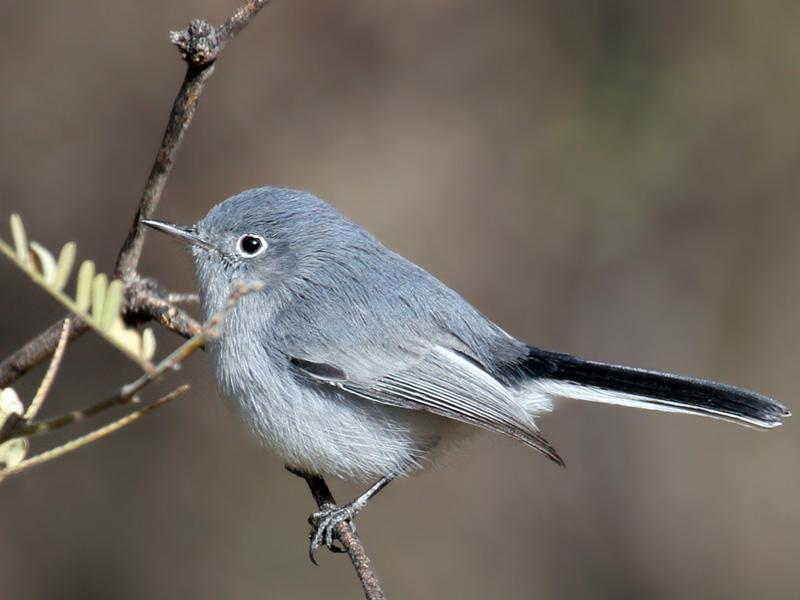 IMG_8676a Blue-gray Gnatcatcher.jpg