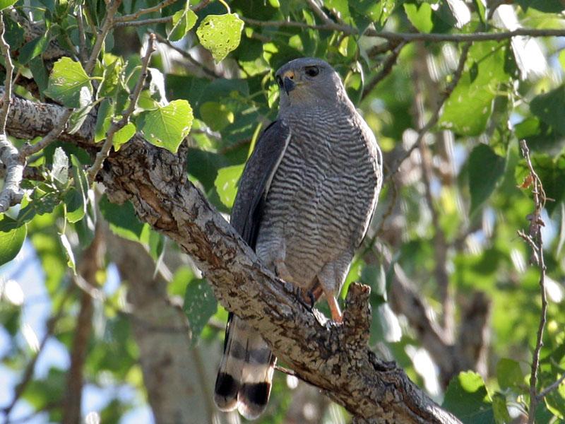 IMG_2852 Gray Hawk.jpg