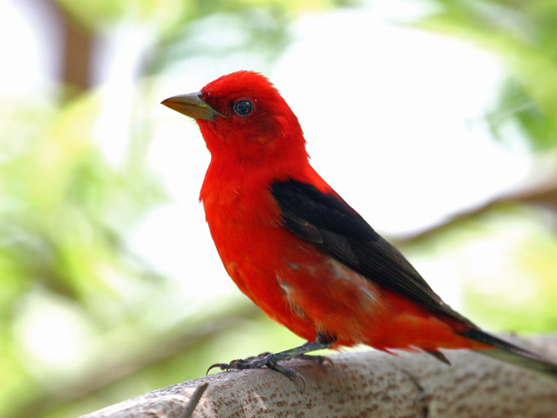 IMG_6729 Scarlet Tanager male.jpg