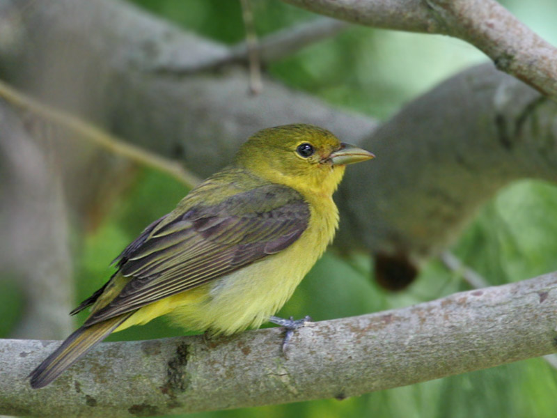 IMG_7383 Scarlet Tanager female.jpg