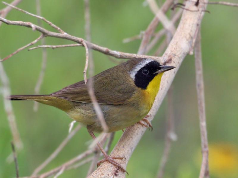 IMG_7032 Common Yellowthroat.jpg