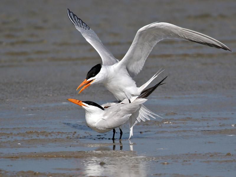 IMG_6613 Royal Tern.jpg