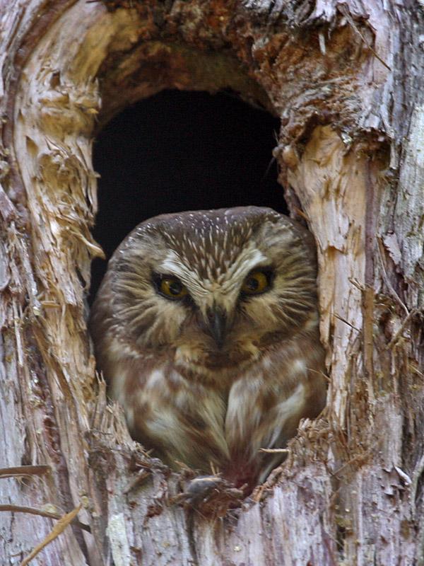 IMG_7656a Northern Saw-whet Owl.jpg