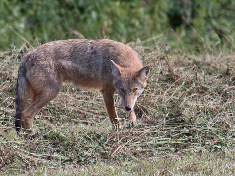 IMG_6689 Eastern Coyote.jpg