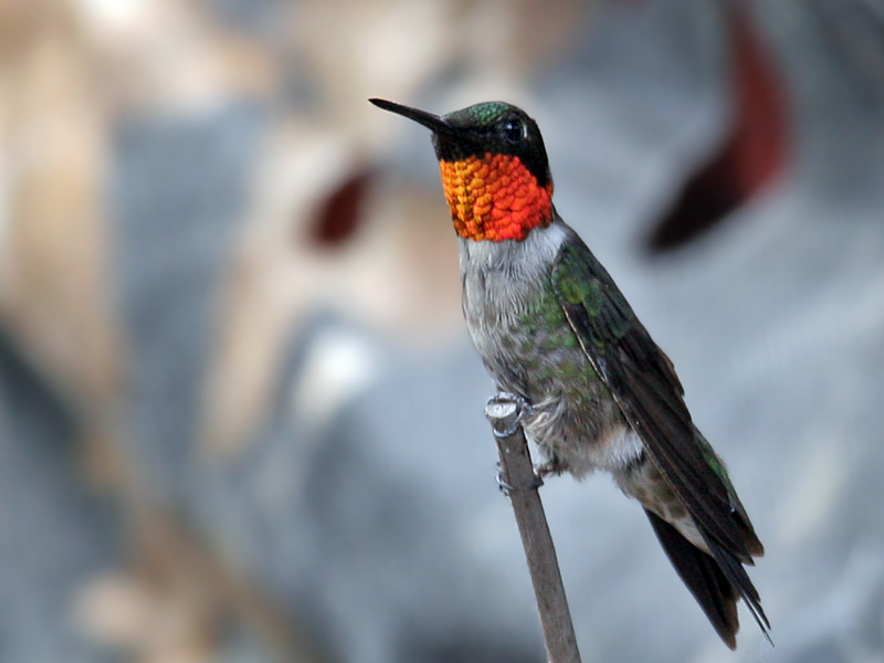 IMG_4945 Ruby-throated Hummingbird.jpg