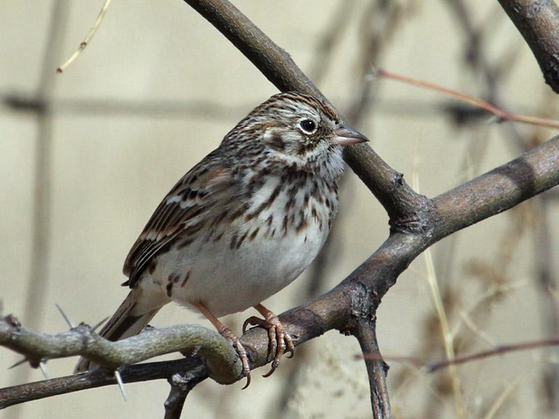 IMG_7081 Vesper Sparrow.jpg