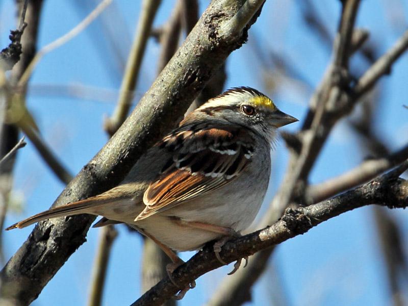 IMG_7363 White-throated Sparrow.jpg