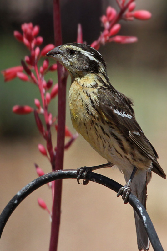 IMG_7540 Black-headed Grosbeak female.jpg