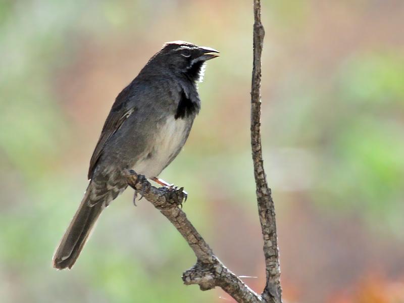 IMG_6881 Five-striped Sparrow.jpg