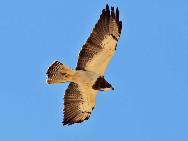 IMG_9481 Swainsons Hawk.jpg