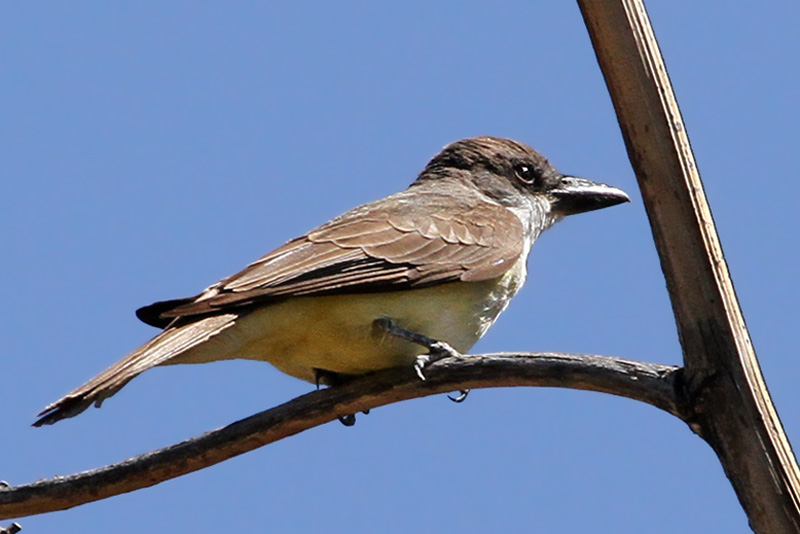 IMG_0207 Thick-billed Kingbird.jpg