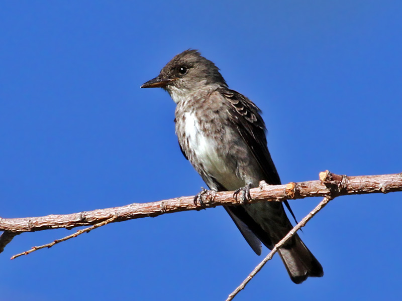 IMG_0341 Olive-sided Flycatcher.jpg