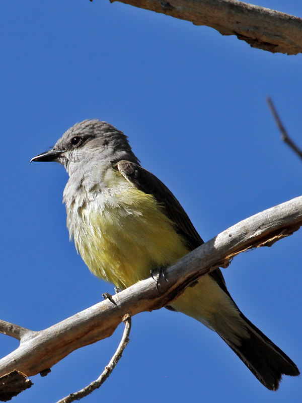 IMG_0563 Tropical Kingbird.jpg