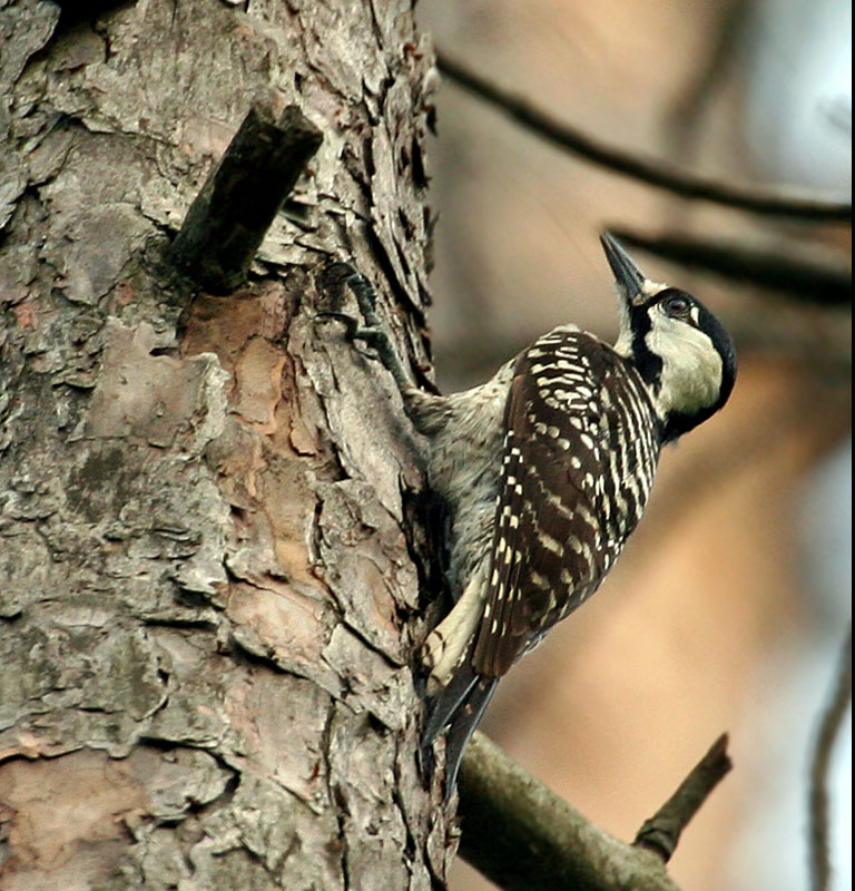 IMG_2967 Red-cockaded Woodpecker.jpg