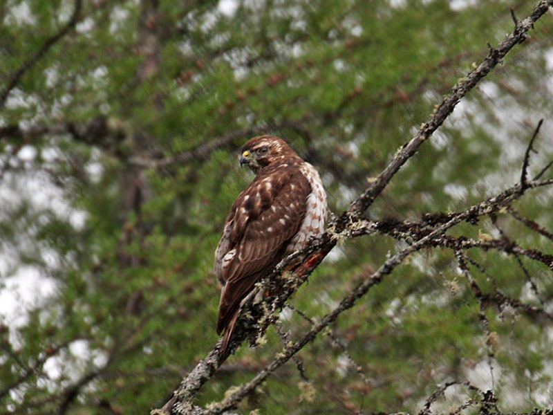 IMG_3689 Broad-winged Hawk.jpg