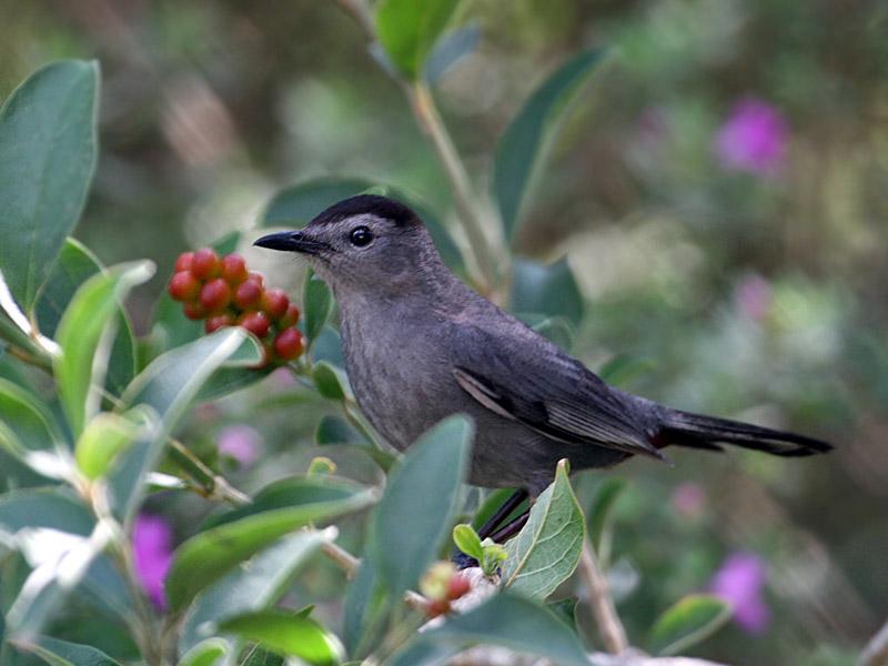 IMG_1268 Gray Catbird.jpg