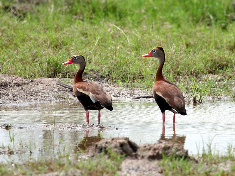 IMG_1250 Whistling Duck.jpg