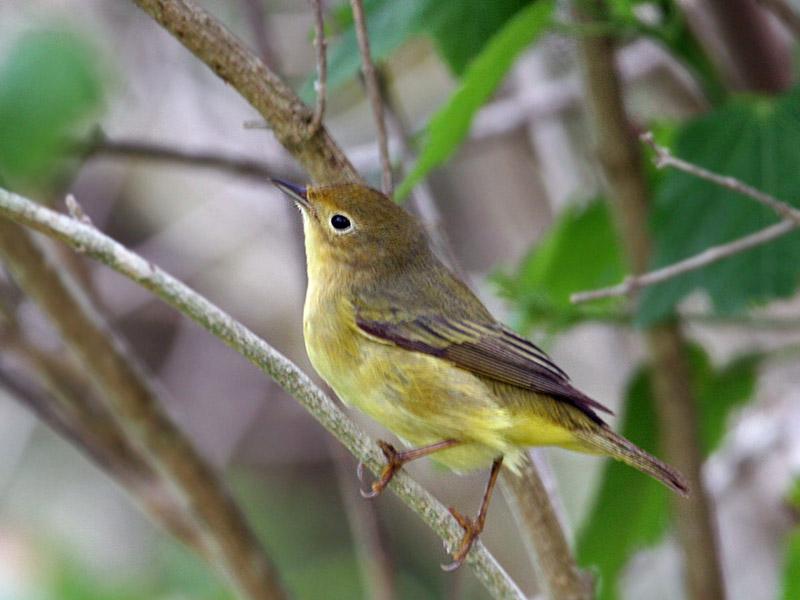 IMG_1992  Mangrove Yellow Warbler.jpg