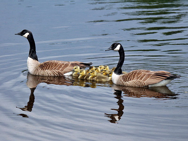 IMG_4861a Canada Geese.jpg