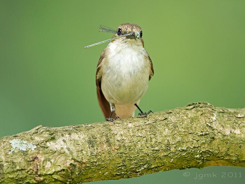 Bonte vliegenvanger/Pied flycatcher
