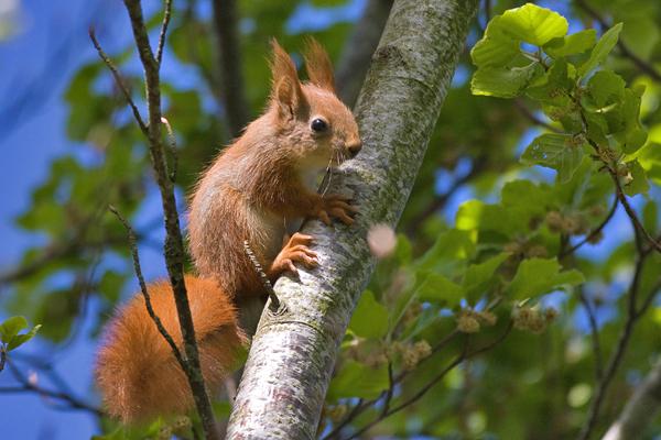 Red Squirrel juv- Egern  - Sciurus vulgaris