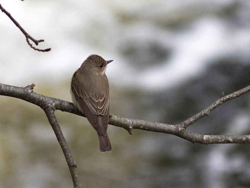 Spotted Flycatcher - Grå Fluesnapper - Muscicapa striata