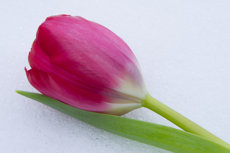 5 February: Tulip in the Snow