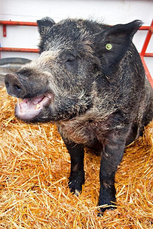 As happy as a pig in ...