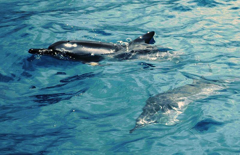 Spinner Dolphins in Kona Bay