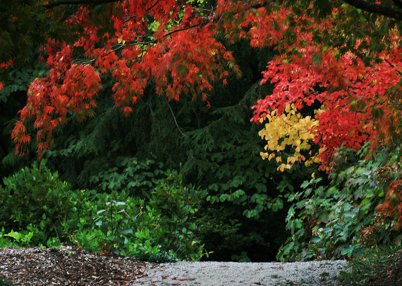 1Japanese Maple.jpg