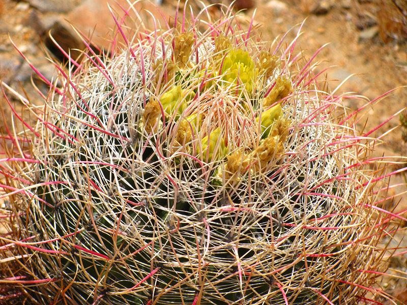 1Barrel Cactus.jpg
