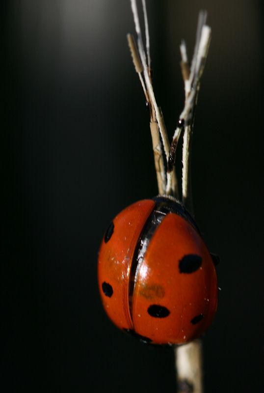 1Ladybug2.jpg
