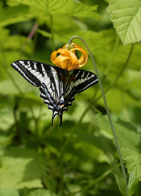 1Rare Swallowtail Lily.jpg