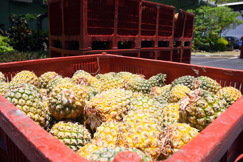 Pineapples for the distillery
