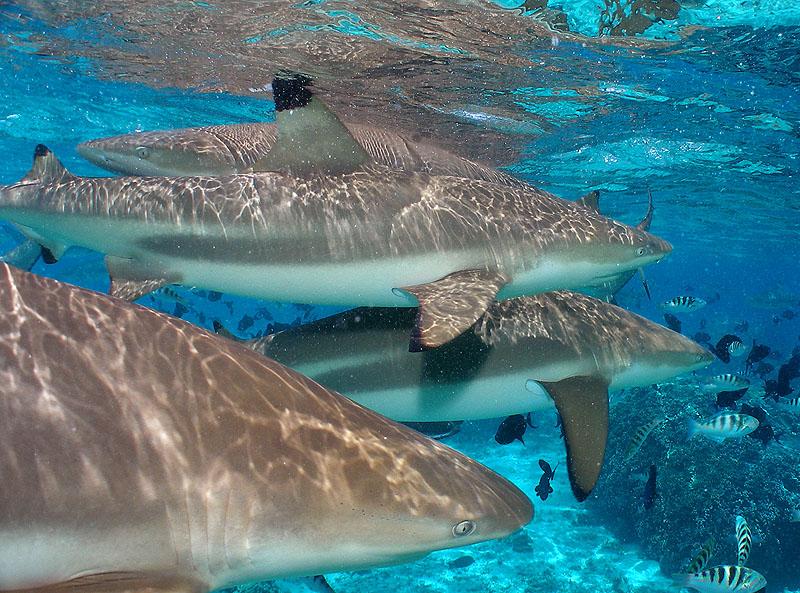 Blacktip Sharks II