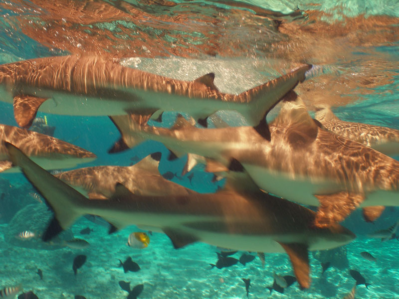 Lots of Sharks